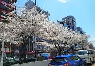 190412入学式桜1