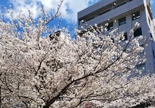 190412入学式桜